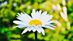 daisy-744_496